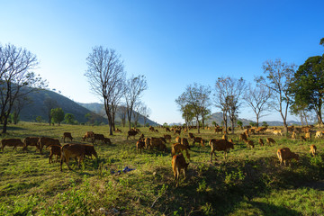 Idyllic summer landscape with cows in grass field in Central Highlands of Vietnam