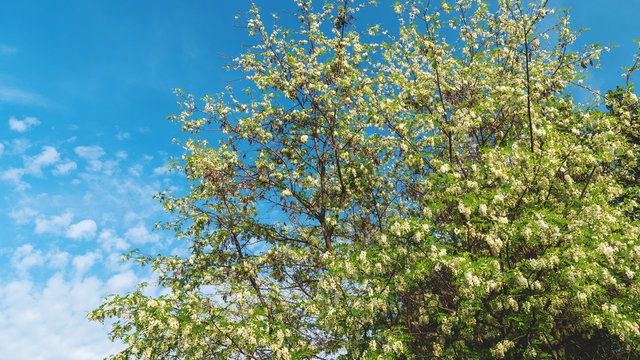 Robinia pseudoacacia or false acacia with blooming white flowers in spring time, green tree locust