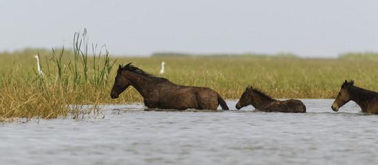 Cheval sauvage, Parc national des oiseaux du Djoudj, Sénégal
