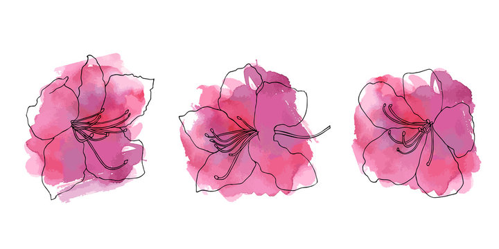 Hand sketched set of rhododendron Ledebour. Flowers on pink watercolor abstract blotch. Isolated flowers of maralnik for postcard, print, decoration, backgrond. endemic of Altai Mountains