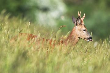European Roe Deer, Roe Deer, Capreolus capreolus