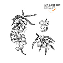 Hand drawn sea buckthorn branch. Vector engraved illustration. Herbal tea, healing. Food ingredient, aromatherapy, cooking. For cosmetic package design, medicinal herb, treating, healt care.