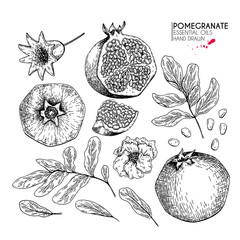 Hand drawn whole pomegranate, branch and flower. Vector engraved illustration. Juicy natural fruit. Food healthy ingredient. For cooking, cosmetic package design, medicinal herb, treating, healt care.