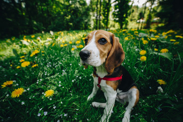Pretty little beagle dog on the green grass in the park. Close up cute beagle puppy in the green grass with yellow flowers. Close up