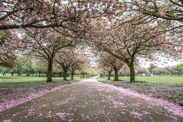 Cherry Bloosom Trees