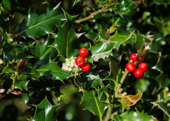 Wild green Holly Bush with bright red berries and small white flowers.