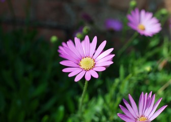 Beautiful pink Osteospermum (African Daisy) flower on a sunny spring day.