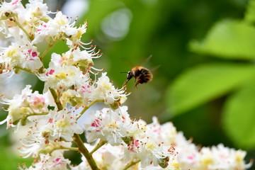 Hummel im Schwebeflug an einer Kastanienblüte