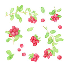 Cowberry or lingonberry watercolor illustration