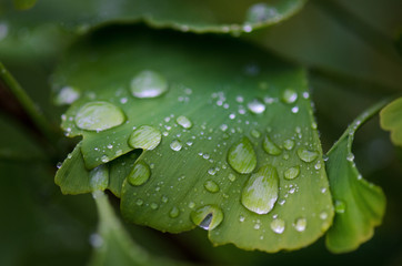 Ginkgo biloba tree leaves with a drop of a water. Detail of green leaves with drops. Green background. Natural medicine.