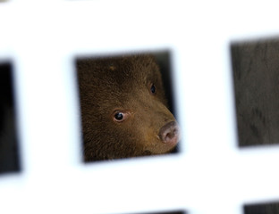One of the three bear cubs who were found by the Bulgarian authorities in the wild and rescued at the Dancing Bears Park is pictured inside a bus near Belitsa