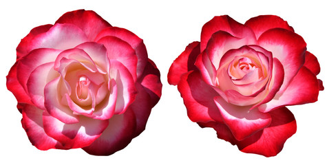 Red and white rose isolated on white background