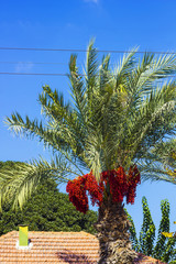 Palm tree with red dates against blue sky