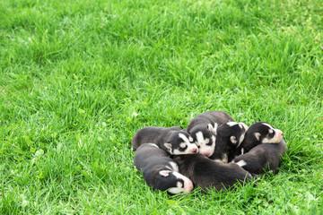 Lovely Newborn Husky Puppies