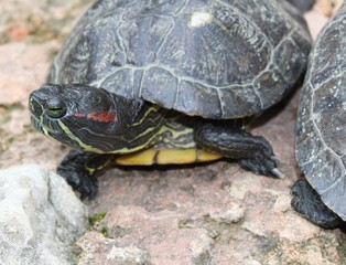 tortue seule dans son enclos vu lors d'une visite dans un aquarium