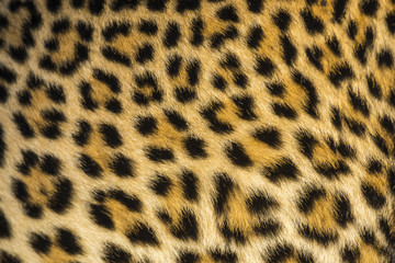 Close up of leopards (Panthera pardus) fur