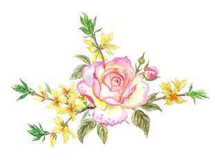Delicate English rose blossoms and forsythia branches, watercolor painting on white background.