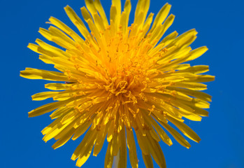 Bright yellow flower of dandelion on blue sky background.