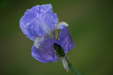A lavendar Iris with raindrops on the petals on a bokeh background