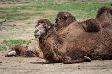 Bactrian camel (Camelus bactrianus) resting on the ground. Two Humps Bactrian camel