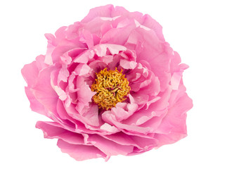 terry pink peony flower isolated