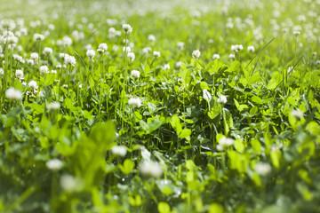 цветки белого клевера на зеленой траве