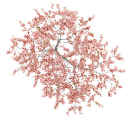 top view of flowering peach tree isolated on white background
