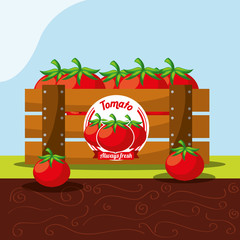 tomato vegetable always fresh in wood basket vector illustration