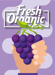 hand holding fresh organic fruit grapes vector illustration