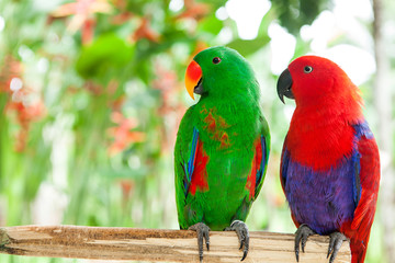 a pair of green and red Solomon Island Eclectus Parrots
