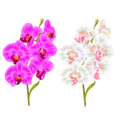 Branches orchid Phalaenopsis purple and white  flowers and leaves tropical plants  stem and buds on a white background vintage vector botanical illustration  editable hand draw