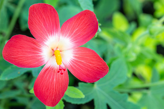 Red flowers and yellow pollen, name: Abelmoschus.