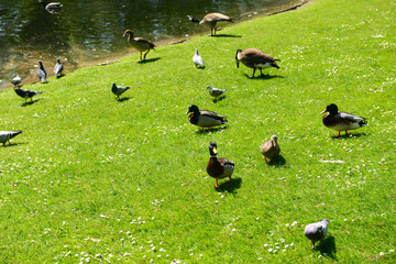 Wild geese in natural habitat, Germany