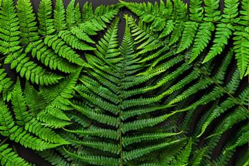 Green fern leaves black background