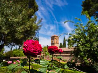 Picture of a rose taken inside the garden of Alhambra at Granada in Spain, fotografia di una rosa fatta all'interno del giardino dell'Alhambra in Spagna
