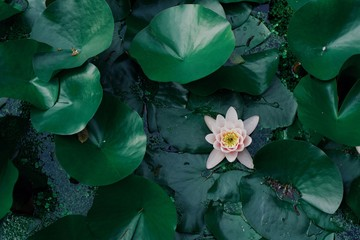 green natural background, leaves and pink water lily, empty copyspace, design pattern