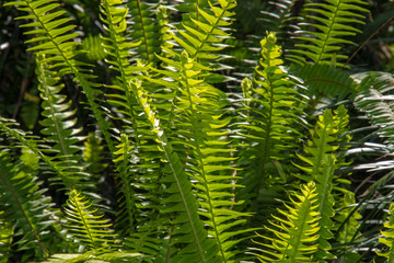 Matteuccia. Leaves of the fern.
