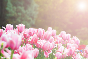 Pink tulip flowers background in vintage style.