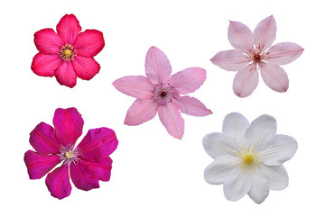 Flowers of white, pink, lilac and violet clematis on white background, isolated.