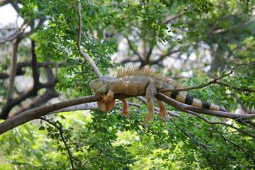 iguana sitting on tree in nature