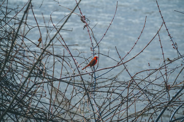 Cardinal on branches by water in winter