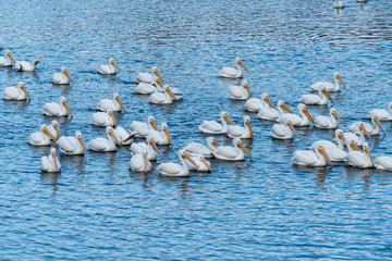 American White Pelicans on water