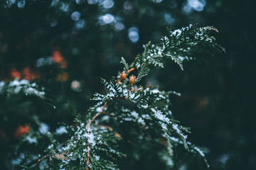 Ever green tree branch with pine cones and snow