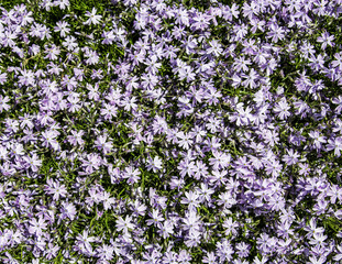 Carpet of pretty flowers in spring