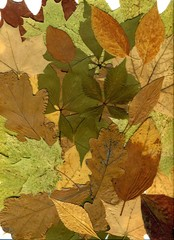 Autumn leaves of different trees and shrubs. Oak, maple, birch, aspen leaves. Fall background. Close-up photo