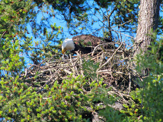 Bald Eagle feeds young in nest