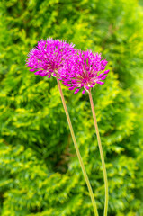Blooming violet onion plant in garden. Flower decorative onion. Close-up of violet onions flowers on summer field.(allium giganteum). Beautiful blossoming onions. Garlic flowers