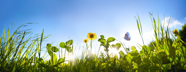 Wall Mural - Fresh green grass clover, dandelion flowers and flying butterfly against blue sky in summer morning at dawn sunrise in rays of sunlight in nature, macro, panoramic view, landscape, copy space.