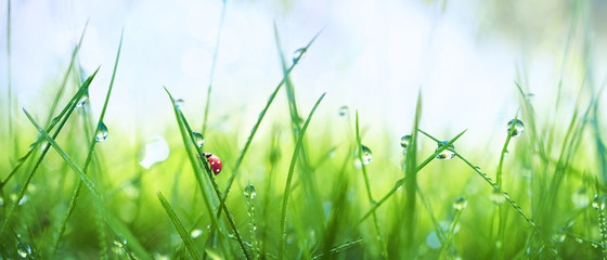 Keuken foto achterwand Gras Fresh juicy young grass in droplets of morning dew and a ladybug in summer spring on a nature macro. Drops of water on the grass, natural wallpaper, panoramic view, soft focus.