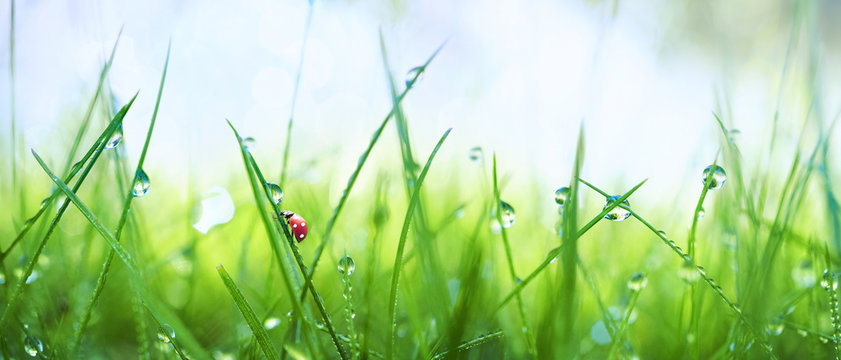Fresh juicy young grass in droplets of morning dew and a ladybug in summer spring on a nature macro. Drops of water on the grass, natural wallpaper, panoramic view, soft focus.